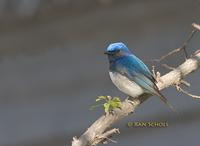 Blue-and-white flycatcher C20D 02791.jpg