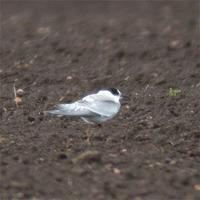 Juvenile Arctic Tern at Prior's Fen