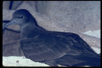 : Puffinus pacificus; Wedge-tailed Shearwater