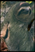 : Bradypus tridactylus; Three-toed Sloth