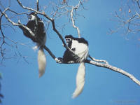 Black-and-white Colobus Monkeys (Colobus Abyssinicus) in Forest Canopy. Arusha