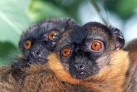 photograph of collared lemurs