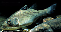Morone chrysops, White bass: aquaculture, gamefish