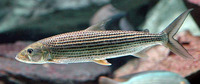 Hydrocynus brevis, Tiger-fish: fisheries