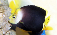 Chaetodontoplus melanosoma, Black-velvet angelfish: aquarium