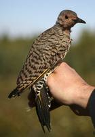 Colaptes auratus - Northern Flicker