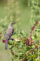 Image of: Mimus polyglottos (northern mockingbird)