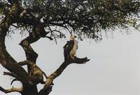 Image of: Polemaetus bellicosus (martial eagle)