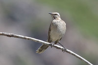 Chilean Mockingbird - Mimus thenca