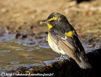 Narcissus Flycatcher - Ficedula narcissina