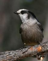 Gray Jay  Also know as Camp Robbers and many others.