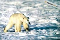 Polar Bear (Ursus maritimus) photo