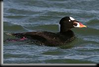 Surf Scoter, Barnegat Light, NJ