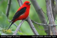 Scarlet Tanager (male) - Ohio