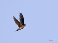 Edible-nest Swiftlet Collocalia fuciphaga germani
