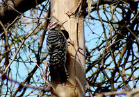 : Picoides scalaris; Ladder-backed Woodpecker