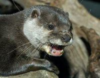 : Aonyx cinerea; Asian Small-clawed Otter