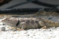 : Sceloporus magister; Desert Spiny Lizard Close Up