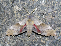 : Pachysphinx occidentalis; Big Poplar Sphinx Moth