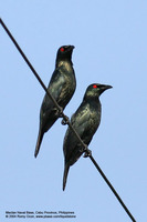 Asian Glossy Starling (Adults) Scientific name - Aplonis payanensis