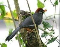 チャガシラガビチョウ Chestnut-capped Laughingthrush Garrulax mitratus