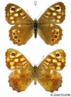 Pararge aegeria - Speckled Wood