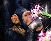 picture of a chimpanzee sniffing flower
