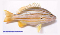 Lutjanus carponotatus, Spanish flag snapper: fisheries, gamefish