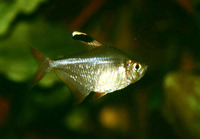 Hyphessobrycon bentosi, Ornate tetra: aquarium