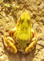 Rana lessonae - Pool Frog