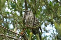 Anthochaera chrysoptera - Brush Wattlebird
