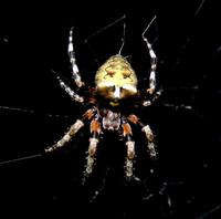 Image of: Araneus