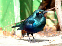 Image of: Irena puella (Asian fairy-bluebird)