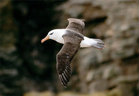 Photo: Black-browed albatross in flight