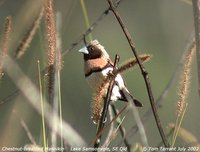 Chestnut-breasted Munia - Lonchura castaneothorax