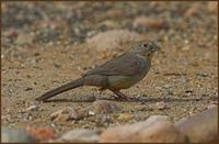 Canyon Towhee, Cave Creek