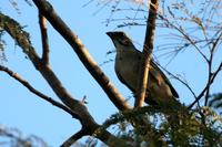 Green-winged  saltator   -   Saltator  similis   -