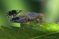 : Trupanea wheeleria; Fruit Fly