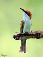 Blue-throated Bee-eater (sub-adult) Scientific name - Merops viridis