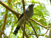 Black-winged Cuckoo-shrike 暗灰鵑鵙