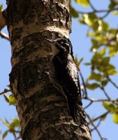 A pair of Three-toed Woodpecker (Beth Symonds)