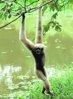 female Hoolock Gibbon (Hylobates hoolock)