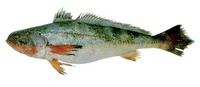 Nebris microps, Smalleye croaker: fisheries