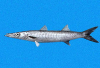 Sphyraena ensis, Mexican barracuda: fisheries, gamefish