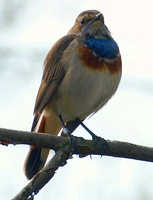 Luscinia svecica - Bluethroat