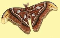 Image of: Attacus atlas