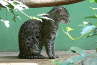 Prionailurus viverrinus - Fishing Cat