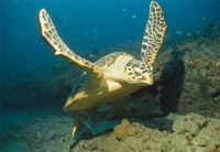 Photo: Hawksbill sea turtle