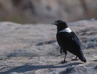 Pied Crow (Corvus alba) photo