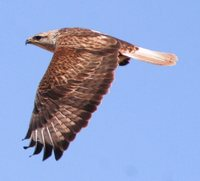 Long-legged Buzzard - Buteo rufinus